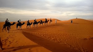 Camels travelling in the desert